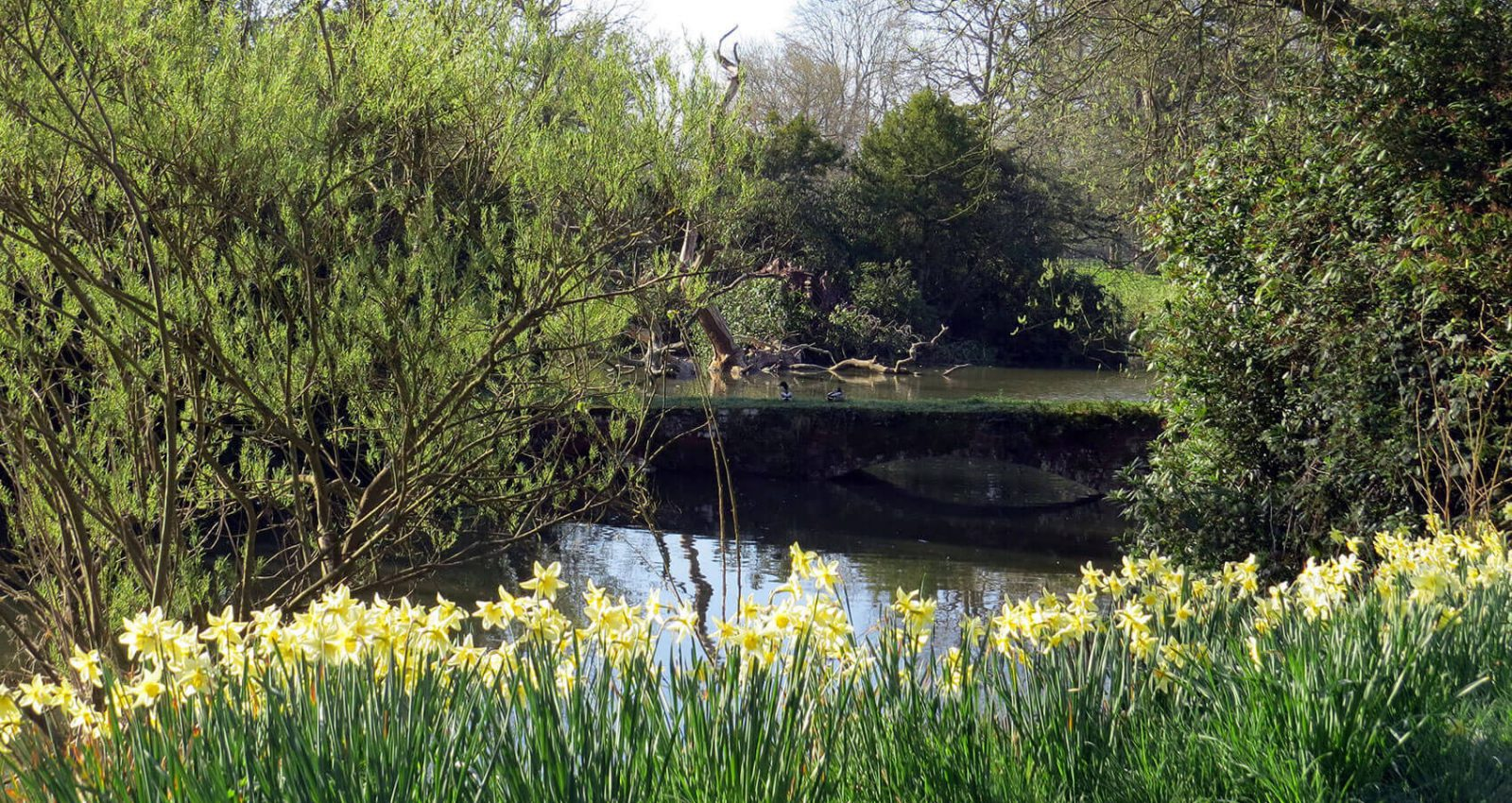 Lake-with-daffodils